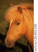 Купить «Icelandic pony portrait, Iceland», фото № 25472105, снято 15 декабря 2019 г. (c) Nature Picture Library / Фотобанк Лори