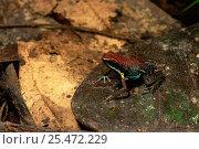 Купить «Poison arrow frog {Dendrobates parvulus} Amazonia, Ecuador», фото № 25472229, снято 29 мая 2020 г. (c) Nature Picture Library / Фотобанк Лори