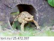 Купить «Common European toad {Bufo bufo} emerging from tree trunk. UK.», фото № 25472397, снято 30 марта 2020 г. (c) Nature Picture Library / Фотобанк Лори