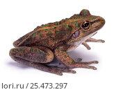 Купить «Australian Bellfrog (Litoria moorei) cut-out Western Australia. Captive», фото № 25473297, снято 6 августа 2020 г. (c) Nature Picture Library / Фотобанк Лори