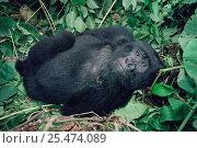 Mountain gorilla juvenile resting at midday {Gorilla g beringei} Virunga NP. DR Congo. Стоковое фото, фотограф Jabruson / Nature Picture Library / Фотобанк Лори