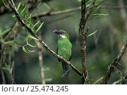 Купить «Groove billed toucanet {Aulacorhynchus sulcatus} Henri Pittier National Park, Brazil», фото № 25474245, снято 21 января 2018 г. (c) Nature Picture Library / Фотобанк Лори