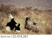 Купить «Courtship display of Ostrich pair {Struthio camelus} Buffalo Springs NR, Kenya», фото № 25474281, снято 16 августа 2018 г. (c) Nature Picture Library / Фотобанк Лори
