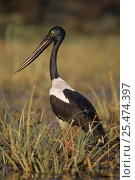 Купить «Black necked stork (Ephippiorhynchus asiaticus) portrait, Keoladeo Ghana NP, India», фото № 25474397, снято 21 августа 2018 г. (c) Nature Picture Library / Фотобанк Лори