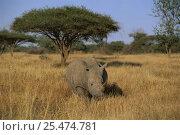 White rhinoceros in landscape (Ceratotherium simium) Mkhaya, Swaziland. Стоковое фото, фотограф David Shale / Nature Picture Library / Фотобанк Лори