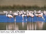 Chilean flamingos {Phoenicopterus chilensis} La Pampa, Argentina. Стоковое фото, фотограф Gabriel Rojo / Nature Picture Library / Фотобанк Лори