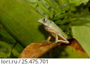 Купить «Froglet sitting, tropical rainforest, Ecuador», фото № 25475701, снято 24 марта 2019 г. (c) Nature Picture Library / Фотобанк Лори