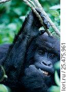 Купить «Mountain gorilla picking at teeth {Gorilla beringei} Virunga NP, DR Congo», фото № 25475961, снято 24 апреля 2019 г. (c) Nature Picture Library / Фотобанк Лори