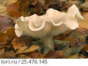 Купить «Fleecy milkcap fungus {Lactarius vellereus} Belgium», фото № 25476145, снято 21 апреля 2018 г. (c) Nature Picture Library / Фотобанк Лори