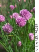 Купить «Chives in flower {Allium schoenoprasum} Belgium», фото № 25476329, снято 15 августа 2018 г. (c) Nature Picture Library / Фотобанк Лори