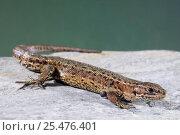Купить «Viviparous lizard {Lacerta vivipara} captive», фото № 25476401, снято 3 апреля 2020 г. (c) Nature Picture Library / Фотобанк Лори
