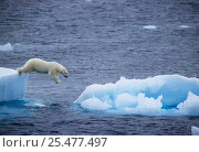 Купить «Polar bear leaping from ice floe to ice floe {Ursus maritimus} Greenland.», фото № 25477497, снято 21 марта 2019 г. (c) Nature Picture Library / Фотобанк Лори