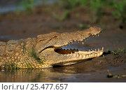 Nile crocodile {Crocodylus niloticus} Selous Game Reserve, Tanzania. Стоковое фото, фотограф Staffan Widstrand / Nature Picture Library / Фотобанк Лори