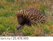 Купить «Short billed echnida {Tachyglossus aculeatus} Tasmania», фото № 25478905, снято 20 июня 2019 г. (c) Nature Picture Library / Фотобанк Лори
