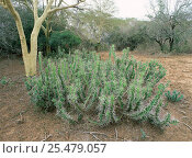 Купить «Rhino thorn shrub {Euphorbia grandicornis} Ndumo reserve, South Africa», фото № 25479057, снято 17 августа 2018 г. (c) Nature Picture Library / Фотобанк Лори