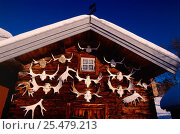 Купить «Moose aantler trophies on outside of house, Sweden.», фото № 25479213, снято 16 августа 2018 г. (c) Nature Picture Library / Фотобанк Лори