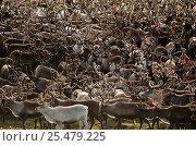 Reindeer / Caribou herd {Rangifer tarandus} Kobuk valley NP, Alaska. Стоковое фото, фотограф Staffan Widstrand / Nature Picture Library / Фотобанк Лори