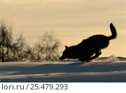 Купить «Grey wolf running silhouette in snow {Canis lupus} Toropets, Russia.», фото № 25479293, снято 18 февраля 2019 г. (c) Nature Picture Library / Фотобанк Лори