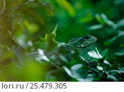 Купить «Green iguana {Iguana sp} camouflaged, Brazil.», фото № 25479305, снято 23 марта 2019 г. (c) Nature Picture Library / Фотобанк Лори