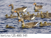 Купить «Greylag geese with goslings {Anser anser} Scotland», фото № 25480141, снято 7 апреля 2020 г. (c) Nature Picture Library / Фотобанк Лори