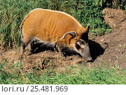 Wild bushpig / Red river hog, female {Potamochoerus porcus} captive, occurs West Africa. Стоковое фото, фотограф Rod Williams / Nature Picture Library / Фотобанк Лори