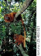 Купить «Two Golden lion tamarins in rainforest {Liontideus rosalia} Silva Jardim, Brazil», фото № 25483021, снято 20 января 2020 г. (c) Nature Picture Library / Фотобанк Лори