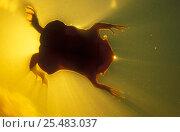 Купить «Surinam toad swimming {Pipa pipa} Rio Negro, Amazonia, Brazil», фото № 25483037, снято 21 февраля 2020 г. (c) Nature Picture Library / Фотобанк Лори