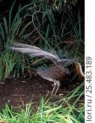 Superb lyrebird displaying {Menura novaehollandiae}, Victoria, Australia Not available for ringtone/wallpaper use. Стоковое фото, фотограф Dave Watts / Nature Picture Library / Фотобанк Лори