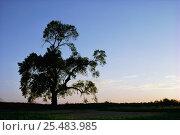 Купить «Black poplar tree silhouette {Populus nigra var betulifolia} UK», фото № 25483985, снято 18 сентября 2018 г. (c) Nature Picture Library / Фотобанк Лори