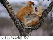 Купить «Patas monkeys {Erythrocebus patas} fighting, Laikipia Plateau, Kenya.», фото № 25484957, снято 14 ноября 2019 г. (c) Nature Picture Library / Фотобанк Лори