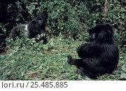 Купить «Mountain gorilla males, of same family group, confrontation. Virunga NP, Dem Rep Congo», фото № 25485885, снято 17 августа 2018 г. (c) Nature Picture Library / Фотобанк Лори