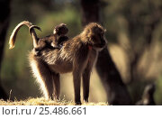 Gelada baboon female carrying young on back, tails entwined {Theropithecus gelada} Ethiopia. Стоковое фото, фотограф David Pike / Nature Picture Library / Фотобанк Лори