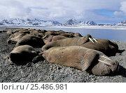 Купить «Walruses {Odobenus rosmarus} on haul out, Svalbard, Spitzbergen, Norway», фото № 25486981, снято 18 ноября 2018 г. (c) Nature Picture Library / Фотобанк Лори