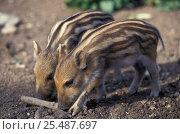 Wild boar piglets {Sus scrofa} captive, UK. Стоковое фото, фотограф David Shale / Nature Picture Library / Фотобанк Лори