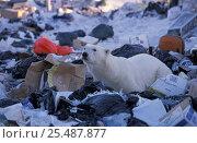 Купить «Polar bear scavenging on rubbish dump {Ursus maritimus} Churchill, Manitoba, Canada», фото № 25487877, снято 19 ноября 2017 г. (c) Nature Picture Library / Фотобанк Лори