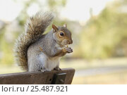 Купить «Grey squirrel {Sciurus carolinensis} feeding on park bench, Regents Park, London, UK», фото № 25487921, снято 24 мая 2018 г. (c) Nature Picture Library / Фотобанк Лори
