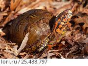 Mexican box turtle portrait {Terrapene carolina mexicana} Mexico. Стоковое фото, фотограф Lynn M Stone / Nature Picture Library / Фотобанк Лори