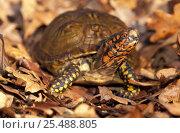 Mexican box turtle portrait {Terrapene carolina mexicana} Стоковое фото, фотограф Lynn M Stone / Nature Picture Library / Фотобанк Лори