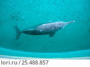 Yangtze river dolphin {Lipotes vexillifer} captive Wu Han, China. Стоковое фото, фотограф Xu Jian / Nature Picture Library / Фотобанк Лори