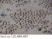 Socotra cormorant colony {Phalacrocorax nigrogularis} United Arab Emirates, photographed during making of BBC Planet Earth series. Стоковое фото, фотограф David Shale / Nature Picture Library / Фотобанк Лори