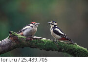 Купить «Great spotted woodpecker adult male + juvenile {Dendropus major} UK», фото № 25489705, снято 14 ноября 2018 г. (c) Nature Picture Library / Фотобанк Лори