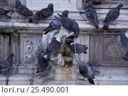 Купить «Feral pigeons / Rock doves {Columba livia} drinking from fountain, Siena, Italy», фото № 25490001, снято 19 августа 2018 г. (c) Nature Picture Library / Фотобанк Лори