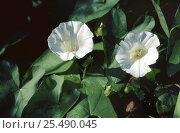 Купить «Hedge bindweed in flower in hedgerow {Calystegia sepium} August UK», фото № 25490045, снято 19 августа 2018 г. (c) Nature Picture Library / Фотобанк Лори