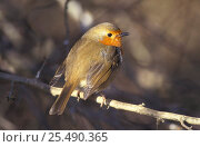 Купить «Robin, feathers fluffed up for warmth {Erithacus rubecula} UK», фото № 25490365, снято 19 февраля 2019 г. (c) Nature Picture Library / Фотобанк Лори