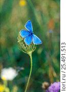 Купить «Adonis blue male butterfly {Polyommatus bellargus} Wiltshire, UK», фото № 25491513, снято 15 августа 2018 г. (c) Nature Picture Library / Фотобанк Лори