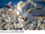 Купить «Cape gannet flying over colony to locate nest {Morus capensis} Bird island, Lamberts bay, South Africa», фото № 25492045, снято 19 августа 2018 г. (c) Nature Picture Library / Фотобанк Лори