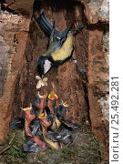 Купить «Great tit feeding hungry chicks in nest {Parus major} France.  Digital composite», фото № 25492281, снято 18 октября 2019 г. (c) Nature Picture Library / Фотобанк Лори