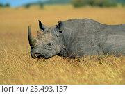 Купить «Black rhino {Diceros bicornis} Masai Mara, Kenya», фото № 25493137, снято 18 августа 2018 г. (c) Nature Picture Library / Фотобанк Лори