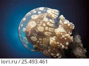 Купить «Papua jellyfish {Mastigas papua} Indo-Pacific», фото № 25493461, снято 22 февраля 2019 г. (c) Nature Picture Library / Фотобанк Лори
