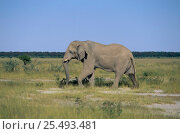 Купить «African elephant bull in musth, note temporal gland weeping and wet hind legs {Loxodonta africana} Etosha NP, Namibia, Southern Africa», фото № 25493481, снято 17 декабря 2017 г. (c) Nature Picture Library / Фотобанк Лори